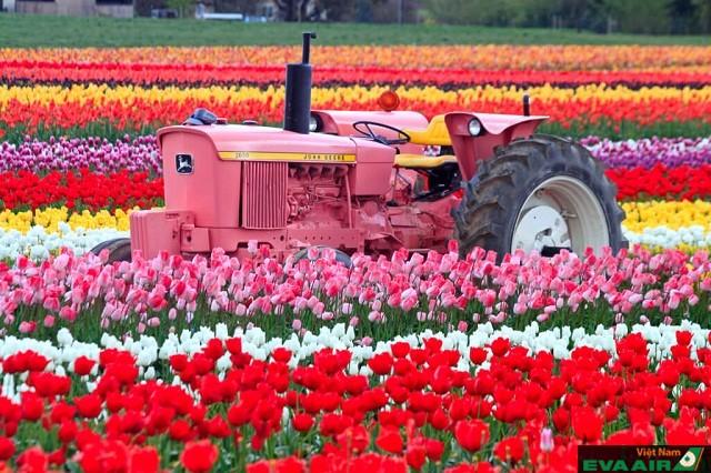 Trang trải Vander Zanden trải dài hoa tulip tựa như một dài màu khổng lồ