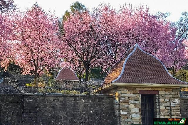 Những cây hoa anh đào ở Dumbarton Oaks nở vào tháng 3