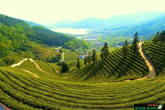 Chè ở Boseong được trồng theo kiểu bậc thang và cắt tỉa rất đẹp mắt